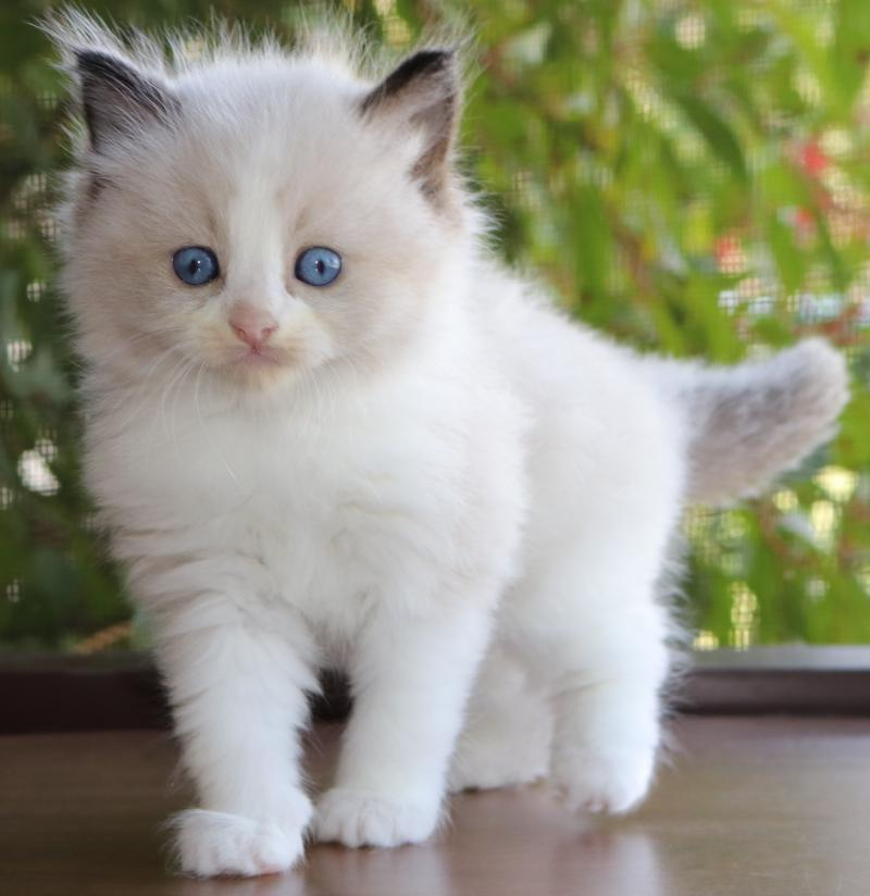 Ragdoll Kittens Divine - Previous Kittens Shown As Examples